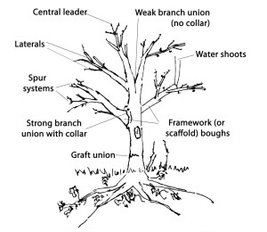 Formative pruning trees  People's Trust for Endangered