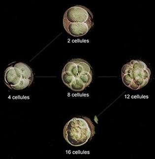 structure cellulaire de la troisième division embryonnaire oeuf de vie