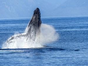 Ballenas grises en México