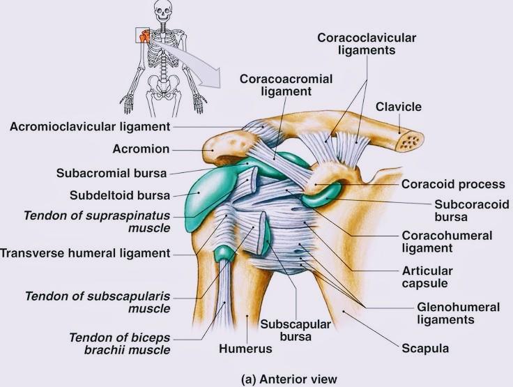 Anatomy of Shoulder Joint - PT Master Guide