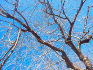 【商用・改変・無料利用可】八重桜(蕾・枝木)と春の青空 - 2018年3月10日