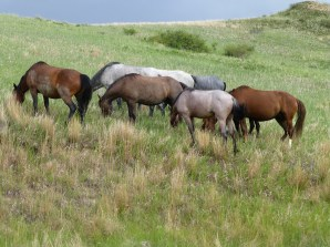 Herd of Wild Horses at Theodore Roosevelt Park