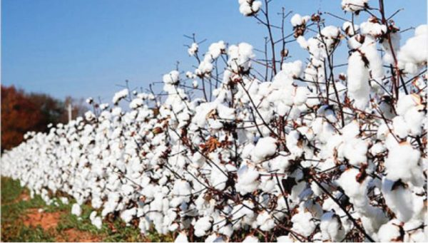 CBN gives loans to cotton growers