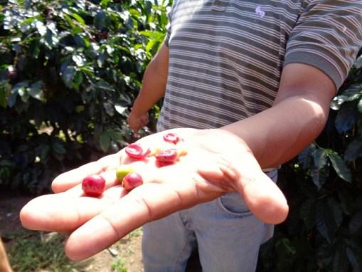 Panama Coffee Farm 11