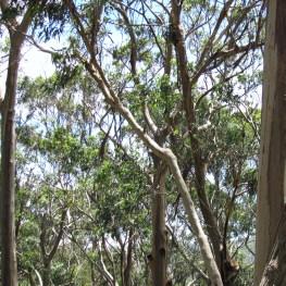 zwei Koalas (oder mehr)