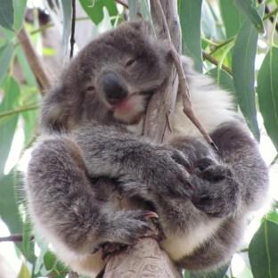 Koala am pfussen