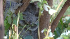 klein Koala