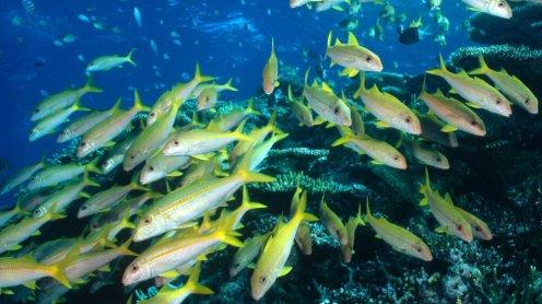 Yellow Goatfish