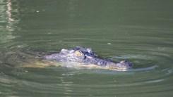 Salzwasser Krokodil