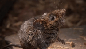 Meet the Singing Mice of Central America image