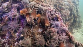 Why Almost All of the West Coast's Sunflower Sea Stars Have Wilted Away image