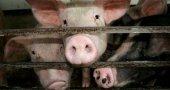 Will Japanese Researchers Grow Human Organs Inside Pigs?