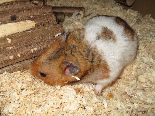 Hamster schnüffeln sich durch das Leben