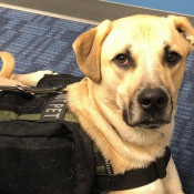 With a Bond That Goes                                                           Through the                                                           Leash, Wichita                                                           Veteran                                                           Receives Free                                                           Service dog