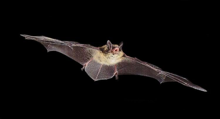 LittleBrownBat_Myotislucifugus