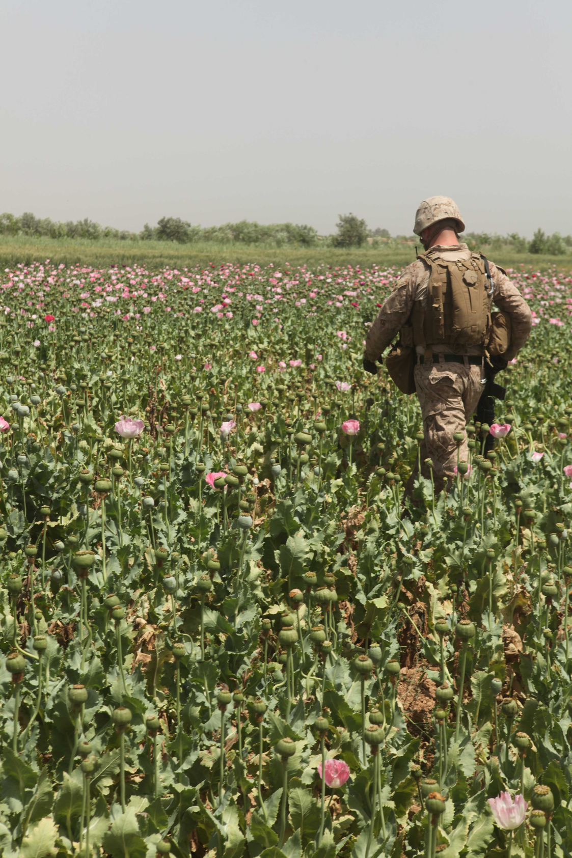 U.S. Occupation Leads to All Time High Afghan Opium Production opium fields3