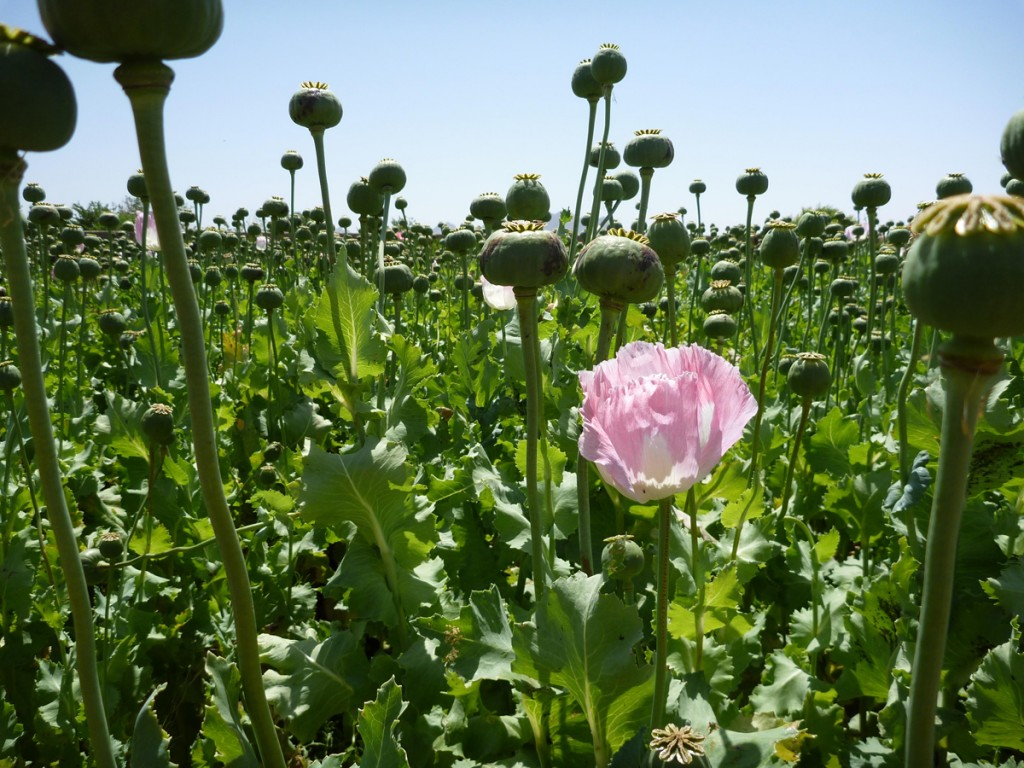 U.S. Occupation Leads to All Time High Afghan Opium Production opium fields9 1024x768