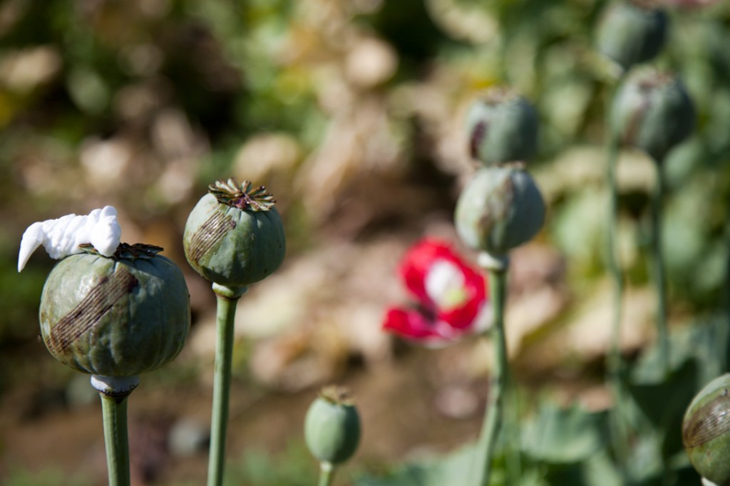 U.S. Occupation Leads to All Time High Afghan Opium Production opium fields 11 1024x682