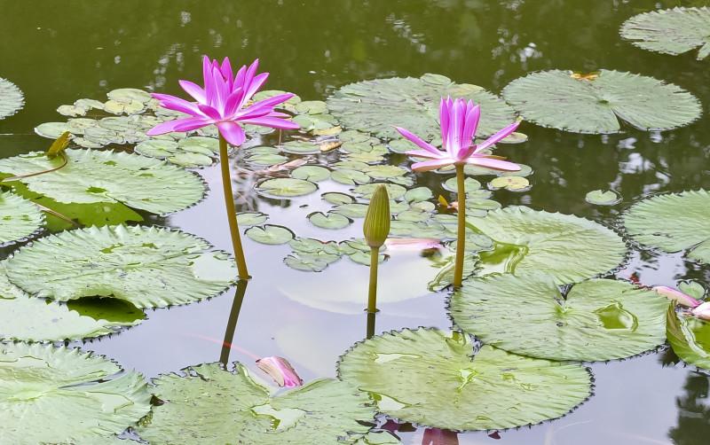 Vannliljer, botanisk have