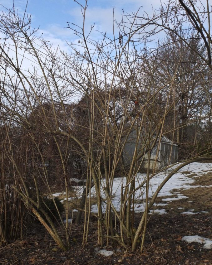Slik ser Forsythiaen min ut i hagen i Oslo nå. Vent med beskjæring til etter blomstring!