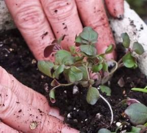 Skyver jorden på plass rundt planten, og trykker forsiktig rundt slik at plantene sitter fast i jorden.