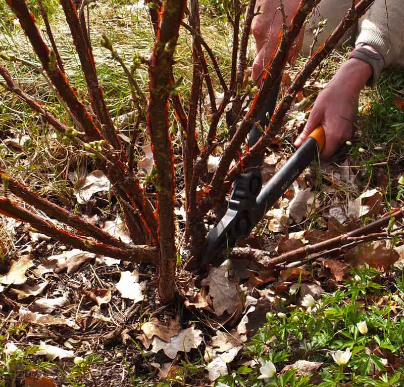 Utoverliggende grener, som vil være i veien for gressklipper, og ugressluking, klippes vekk. Det er viktig at så lite som mulig av grenstumpen står igjen, for å forhindre sopp og råte i stumpen som står igjen..
