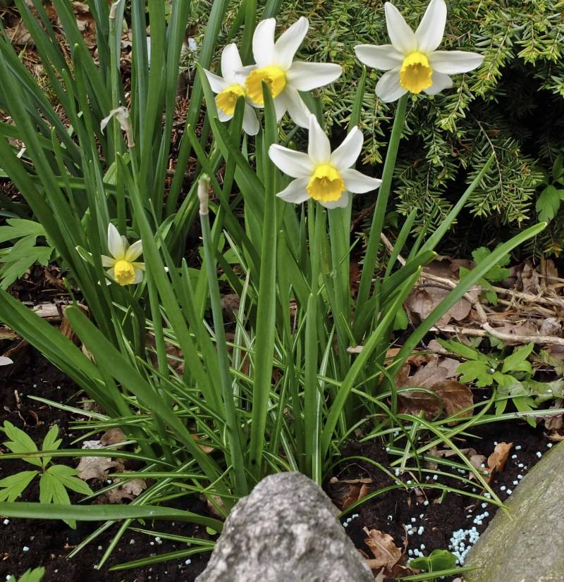 """Hils på """"Jack Snipe"""" Det er en vedlig grei narciss å forholde seg til. Jeg liker godt at kronbladene bøyer seg litt tilbake. Den blir ca 50 cm høy, og egner seg for bla.a naturalisering."""