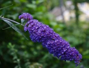 Sommerfuglbusk lilla