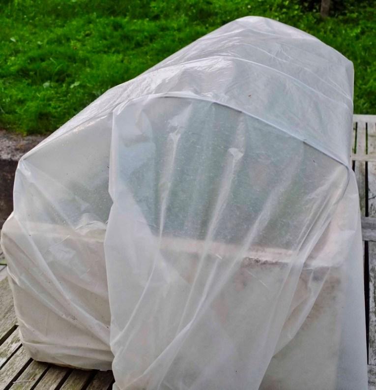 Hvit plast legges over for å holde på fuktigheten hos stiklingene og for å beskytte mot sollys og overoppheting. Jeg fester plasten med et stort buksestrikk rundt kassen som er enkelt å ta av og på. Stiklingene må sjekkes for råte og døst plantemateriale minst/helst en gang i uken .