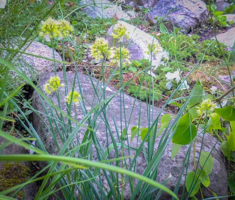 Allium flavium24_