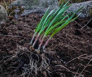 Plante kvitlauk26_