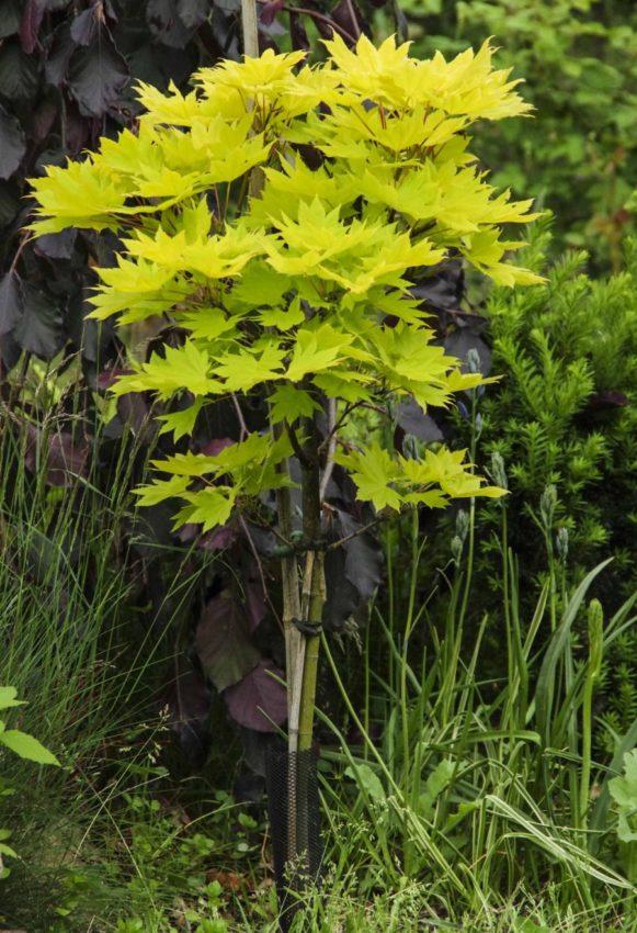Acer shirasawanum 'Aureum'._
