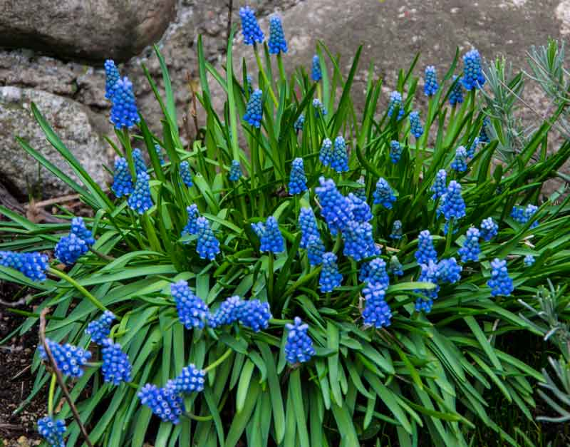 Blue Muscari _