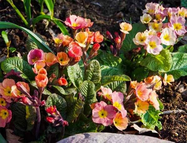 Primula_vulgaris_
