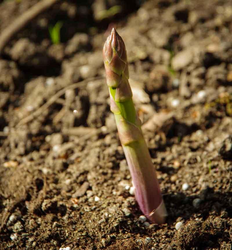 Egne asparges2_