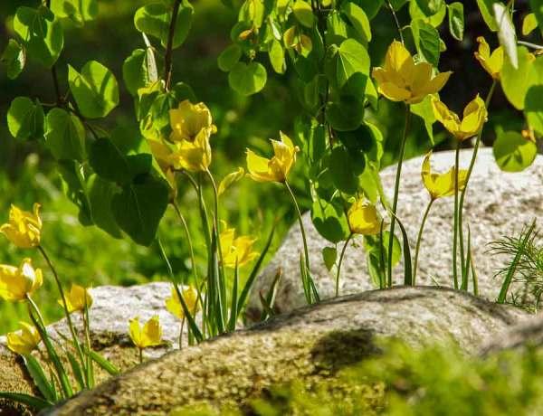 Tulipa_sylvestris_05_