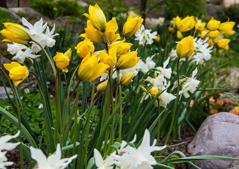 Tulipa_sylvestris_thalia_05_