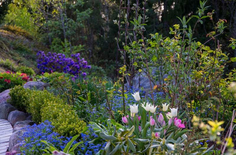 Beskjaere Rhododendron_