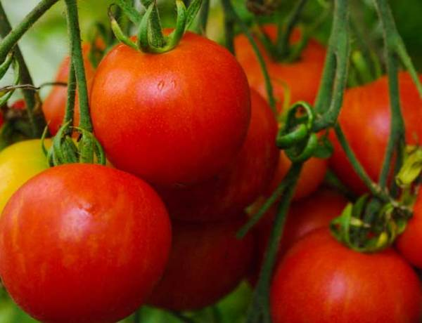 How to grow tomatoes_