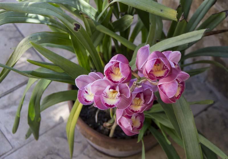 Cymbidium orchid pot_