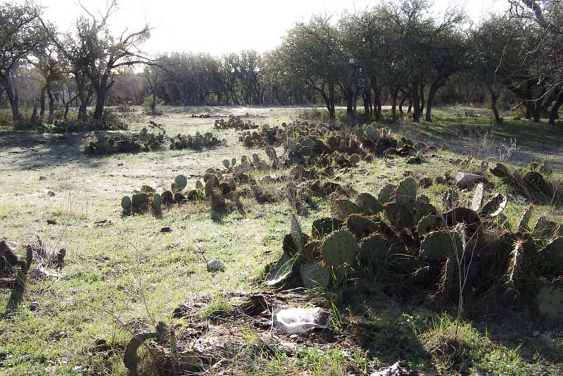 Prickly Pears_