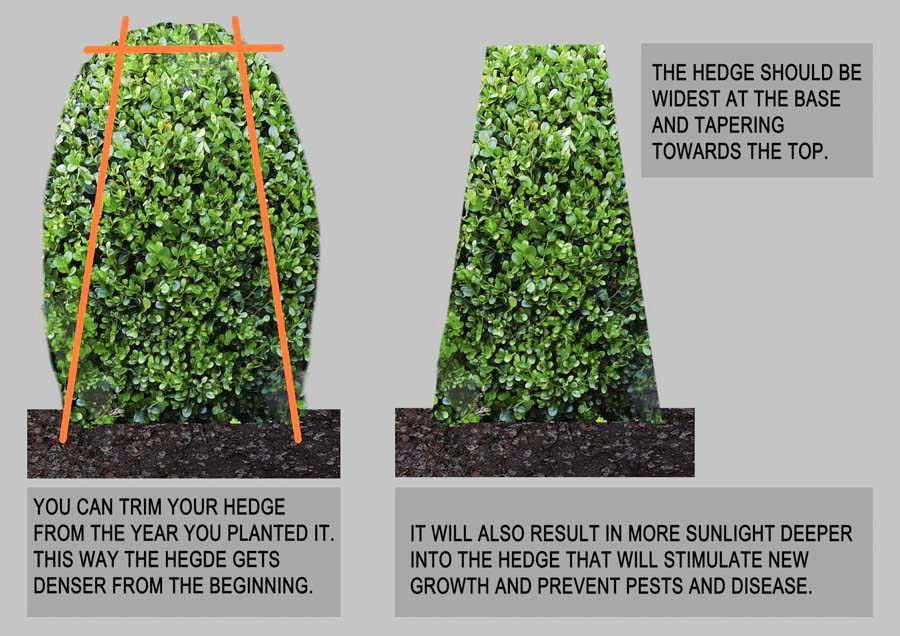 How to trim a hedge right_