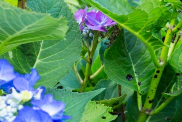 Hydrangea with bloodmeal_