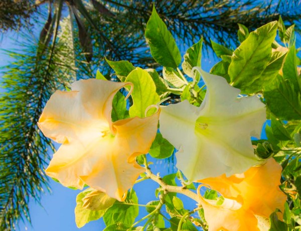 Three facts you need to know about Brugmansia