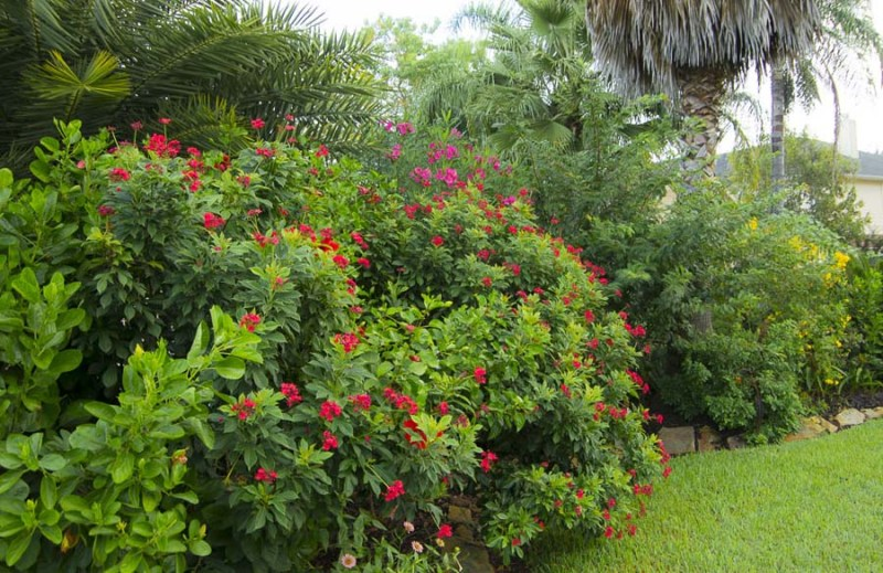 Pergrina shrubs in Houston. Peregrina (Jatropha integerrima)