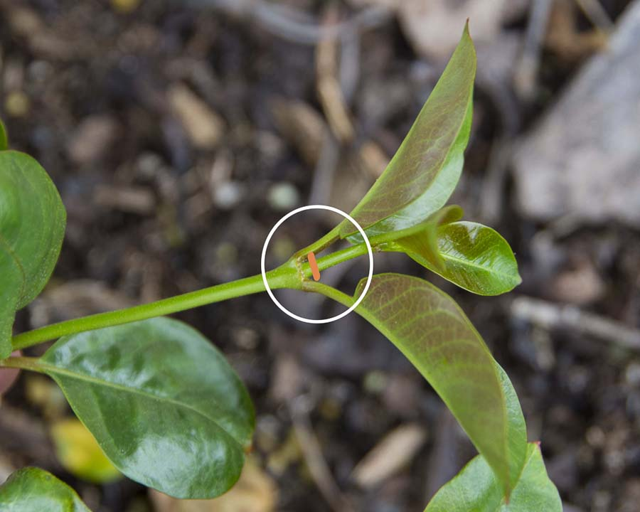 Pinch shoots mandevilla