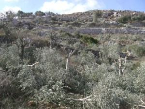 On November 12th, a group of 25 settlers from Yitzhar settlement, south of Nablus, cut down 97 olive trees in the village of Burin © ISM Palestine | Flickr