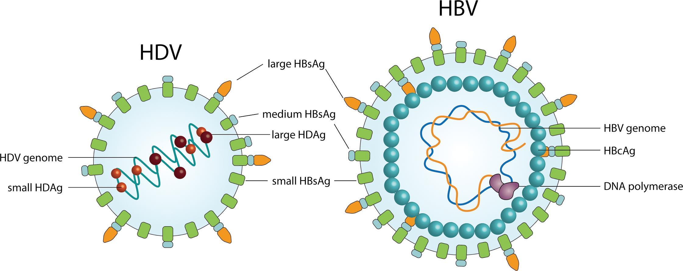 Hepatitis B And Delta Virus Advances On Stu S About