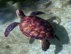 Hawaii turtle. June 2006