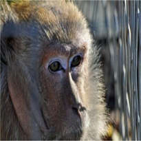 Autyzm poszczepienny u małp